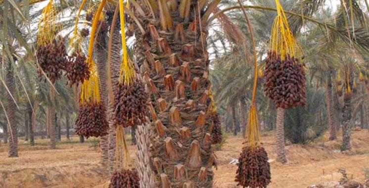 La région regorge de potentialités agricoles : Drâa-Tafilalet, le poumon phoenicicole du Maroc