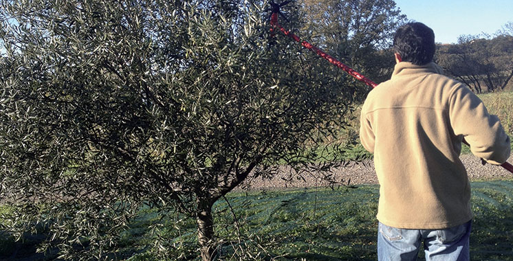 Tanger-Tétouan-Al Hoceima : Une production record d'olives attendue cette année