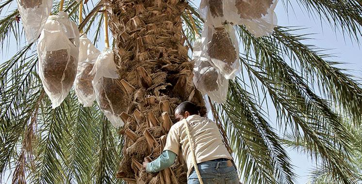 Palmier dattier : Une filière à grande portée socio-économique