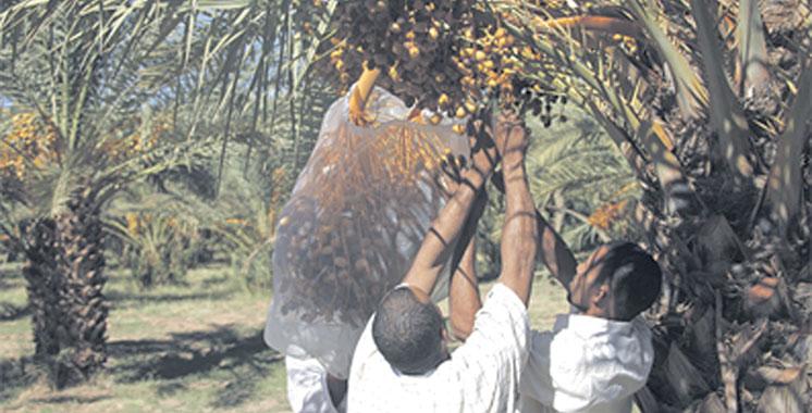 Zagora : Journée de sensibilisation aux techniques de production  et de valorisation des dattes