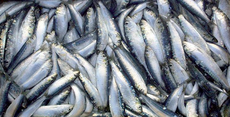 Campagne scientifique maroco-espagnole sur la connectivité entre populations de sardines en Méditerranée