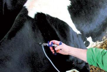 Fièvre aphteuse : Plus d'un million de bovins vaccinés