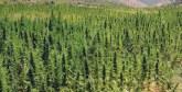 Le Canada entre légalisation du cannabis  et réduction du tabagisme
