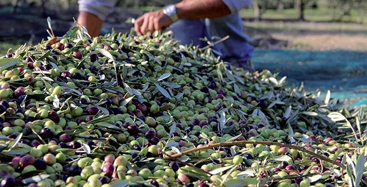Production oléicole à Drâa-Tafilalet : 52.000 tonnes  en 2017