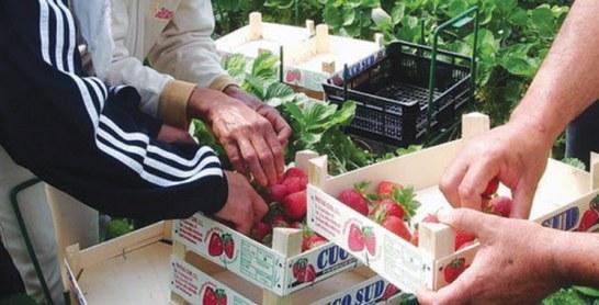 Travailleurs saisonniers marocains en Espagne : 10.400 nouveaux contrats