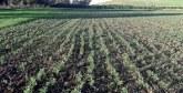 Casa-Settat : Plus de 833 mille ha semés en céréales