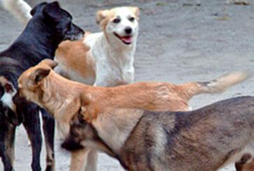Tanger : La traque des chiens errants reprend