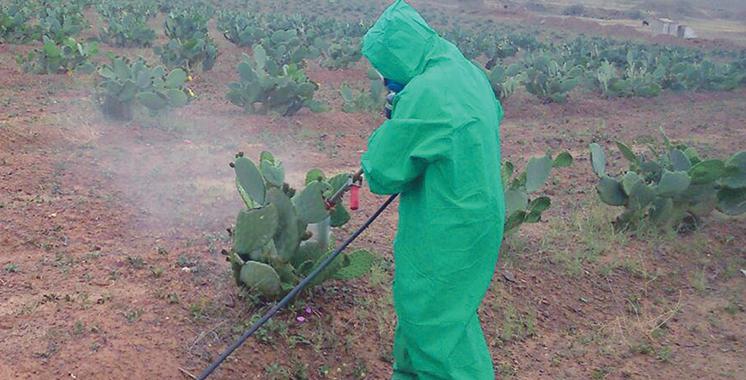 La lutte contre la cochenille du cactus s'intensifie dans le Souss-Massa