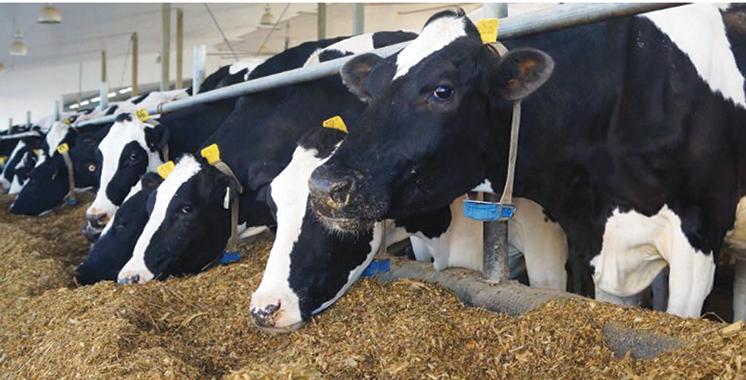 Vague de froid : Un  programme d'appui à l'alimentation du bétail lancé dans 22 provinces