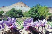 Safran de Taliouine : Plus qu'une épice