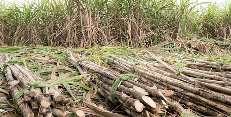 Culture sucrière : Hausse de 30% de la production de la canne à sucre