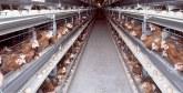Viandes des poules pondeuses : La Fisa rassure les consommateurs