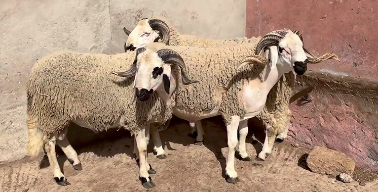 Aïd Al Adha : Le ministère de l'agriculture lutte contre l'engraissement frauduleux des ovins