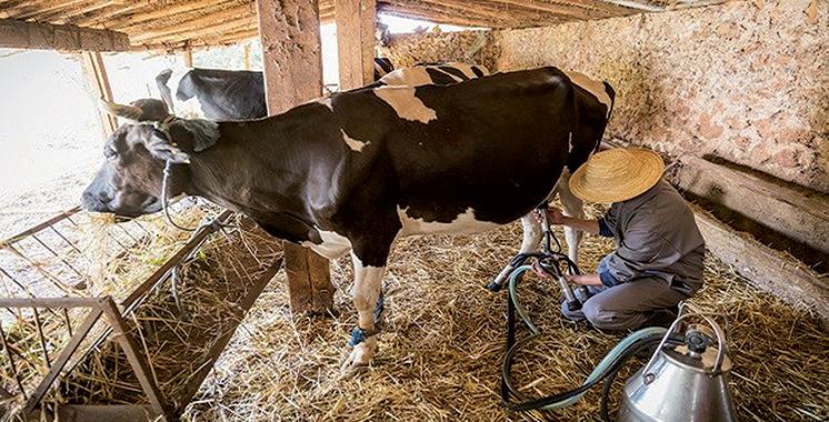 Filière laitière : Le SOS des éleveurs producteurs