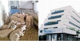 Aïd Al Adha : Les vétérinaires intensifient leur collaboration avec l'ONSSA
