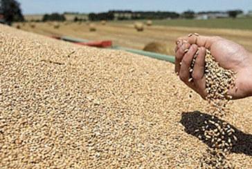 Collecte de blé tendre : Le Crédit Agricole  du Maroc finance les coopératives
