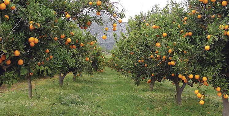 Aide financière aux nouvelles plantations d'agrumes : Les subventions vont  de 11.000 à 28.000 DH par hectare