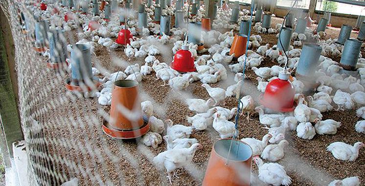 Démenti de la Fisa : La canicule n'a pas décimé 20% des élevages avicoles