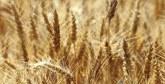 Fès-Meknès : 146.313 hectares cultivés en céréales  au cours de la campagne agricole 2017-2018