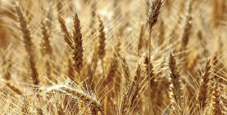 146.000 quintaux d'orge subventionné au profit des éleveurs de l'Oriental