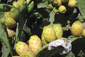 5ème édition du Festival «Aknari» : Le cactus en vedette à Sidi Ifni