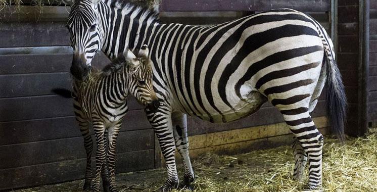 Nouvelle naissance d'un zébreau au Jardin zoologique de Rabat