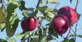 Filière pommier : Filière pommier Lancement de plusieurs projets  de valorisation à Taroudant