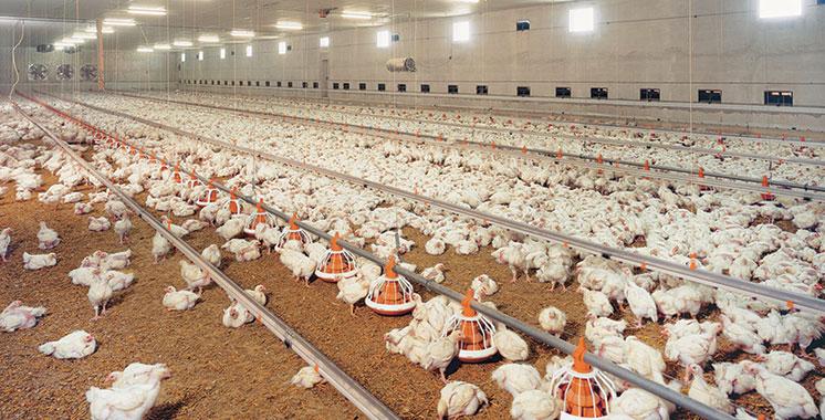 Le bras de fer se poursuit entre grévistes et transporteurs de volaille : Le poulet se fait cher