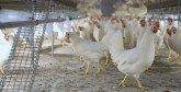 Les abattoirs avicoles modernes tirent la sonnette d'alarme