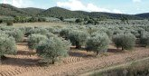 Production d'olives à Tanger-Tétouan- Al Hoceima : Nouveau record en vue