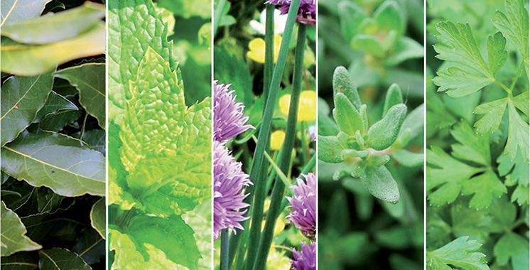 4.200 espèces  recensées : Les plantes aromatiques  ont leur écosystème