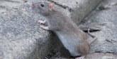 Casablanca déclare la guerre aux rats et aux larves