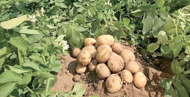 Cultures maraîchères : Hausse de 26% de la production de pomme de terre de saison à Fès-Meknès