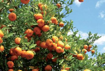 La filière agrumicole, un levier de développement qui garantit plus de 120.000 emplois stables