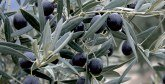 Les olives noires marocaines à l'assaut  du marché états-unien