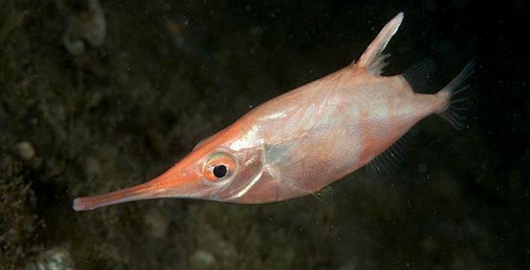 Prolifération et exploitation du stock de la bécasse de mer : Une étude pilote en cours de réalisation sur les côtes marocaines