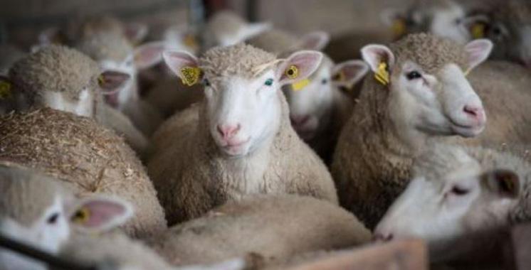 Des moutons inscrits à l'école pour éviter une fermeture de classe