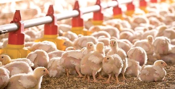 Les aviculteurs font leur bilan dans le cadre du Plan Maroc Vert