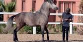 3e meeting du Barbe et Arabe-Barbe, championnats nationaux et Salon du cheval : La filière équine sur sa lancée