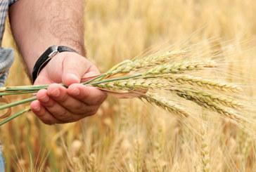 Filière céréalière : Une production de qualité malgré  les aléas climatiques