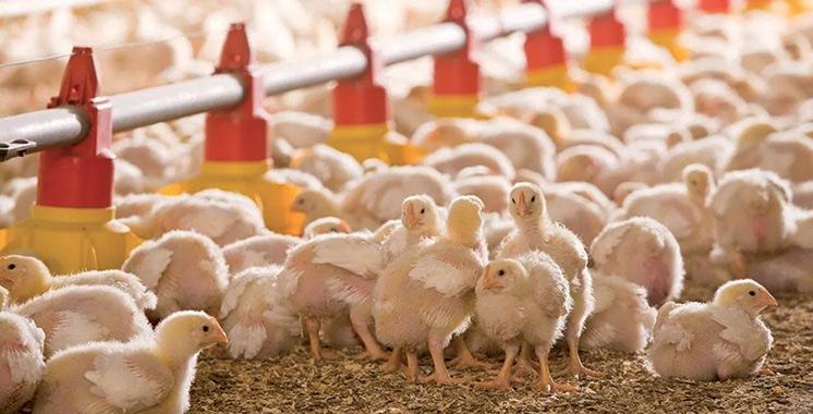 Des professionnels discutent des moyens de promouvoir l'aviculture à Souss-Massa