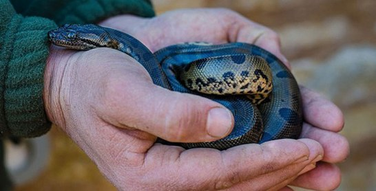 Naissance de 26 bébés anacondas : Le plus grand serpent du monde se reproduit à Crocoparc Agadir