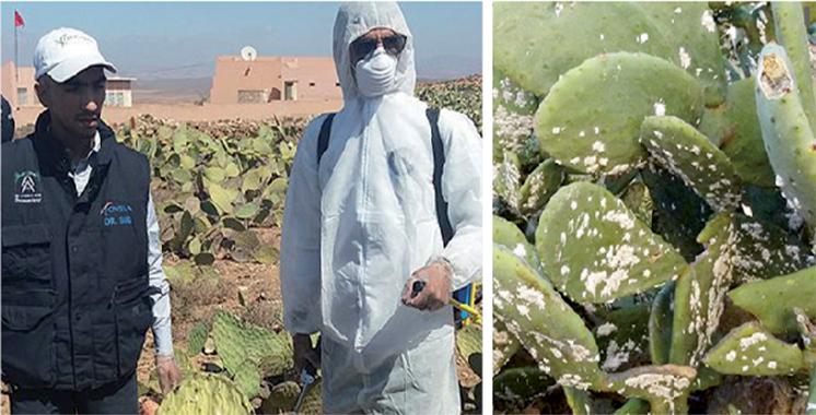 L'ONSSA intensifie sa lutte contre la cochenille