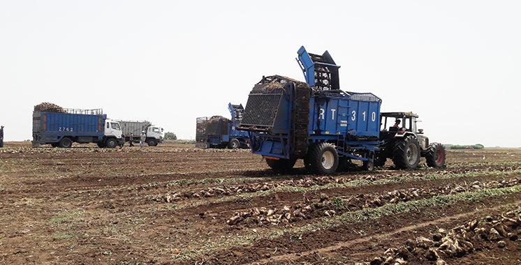 154.000 tonnes de betterave à sucre arrachées à Casablanca-Settat