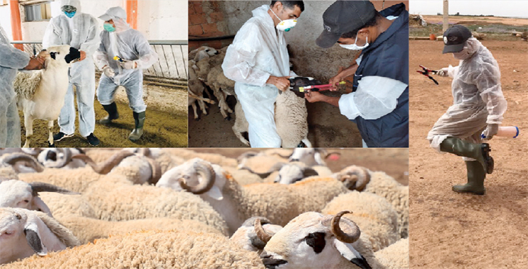 Aïd Al Adha : 8 millions de têtes destinés à l'abattage