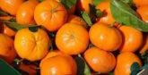 Clémentine : les exportations en hausse de 60%