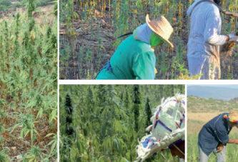 Bientôt des coopératives...  de cannabis