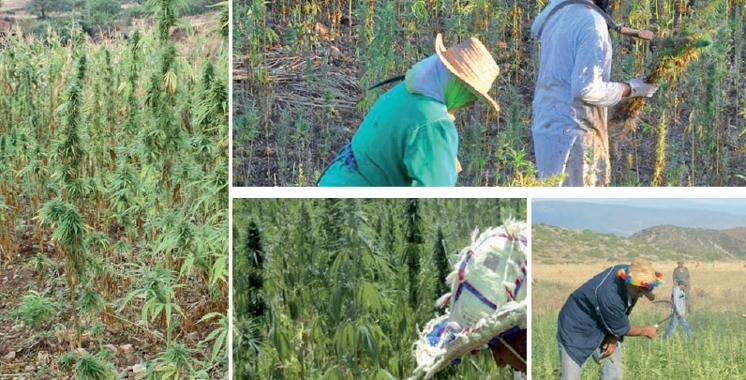 Bientôt des coopératives…  de cannabis
