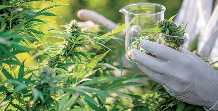 Légalisation du cannabis : Le Parlement entre en jeu