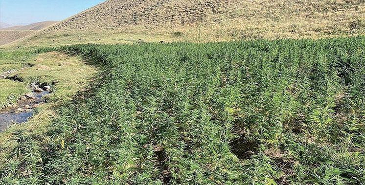 Rapport 2021 de l'ONUDC : Baisse de la culture du cannabis au Maroc